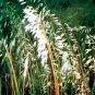 Bouteloua curtipendula (38) NATIVE Sideoats Grama Grass Product USA Zone 3-10