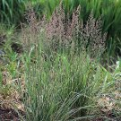 Calamagrostis xacutiflora Overdam 72 grasses USA grown Zone 4-10 starter plants