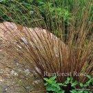 Carex buchananii Firefox (72) plants ornamental grasses Product USA Zone 5-9