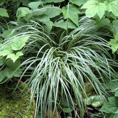 Carex Silver Sceptre 50 Sedge variegated leaves grasses USA grown Zone 5-9