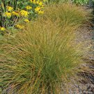Color Grass - Carex testacea Prairie Fire 72 plants ornamental grasses Zone 6-9