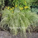 Color Carex comans Amazon Mist 72 plants ornamental grasses Zone 7-9