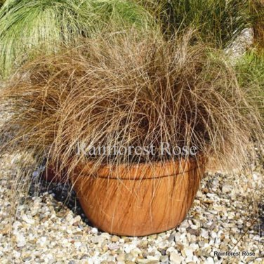 Color Grass Carex comans Bronco 72 ornamental grasses USA grown Zone 7-9