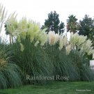Cortaderia selloana White (38) grasses USA grown white pampas Zone 8-10