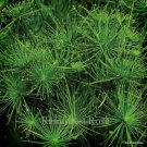 Cyperus papyrus Dwarf Egyptian Papyrus (38) ornamental grasses Zone 9-11