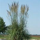 Erianthus ravennae 38 Northern Pampas Ornamental Grasses USA Zone 6-9