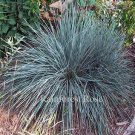Helictotrichon sempervirens 50 Blue Oat grasses wholesale Zone 4-9