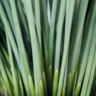 Juncus inflexus Fantastic Foliage Blue Arrows 38 Rush grasses Zone 5-9