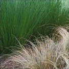 Juncus pallidus Fantastic Foliage Javelin 38 wholesale Zone 7-11