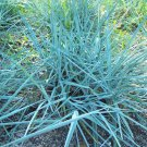 Leymus Blue Dune 38 Blue Lyme ornamental grasses wholesale Zone 4-9