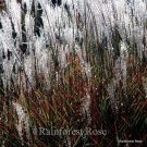 Miscanthus Purpurascens 38 Autumn Flame ornamental grasses Zone 4-8