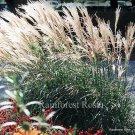 Miscanthus sinensis Adagio 72 plants ornamental grasses wholesale Zone 6-10