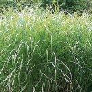 Miscanthus sinensis Autumn Light (38) Maiden grasses made in USA Zone 4-10