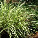 Miscanthus sinensis Dixieland (38)  Variegated Japanese Silver Grass Zone 6-9