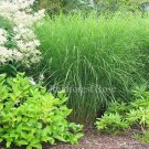 Miscanthus Gracillimus 21 ornamental grasses wholesale lot Zone 5-10