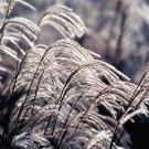 Miscanthus sinensis Graziella 38 plants ornamental grasses wholesale Zone 5-10