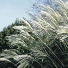 Miscanthus sinensis Silberfeder (38) Silver Feather Grass USA product Zone 4-10