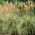 Miscanthus condensatus Cabaret 38 Japanese Silver Grass Zone 5-10  Product USA