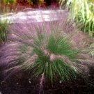 Muhlenbergia capillaris Fast Forward 38 ornamental Muhly grasses Zone 6-10