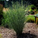 Panicum virgatum Cloud Nine (38) wholesale Switch Grasses bulk Zone 4-10