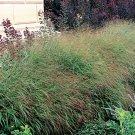 Panicum virgatum Rotstrahlbusch 38 plants Switch Grasses wholesale Zone 4-10