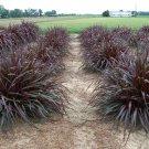 Pennisetum Regal Princess 38 Ornamental Napier Grass zone 7-11 USA PURPLE