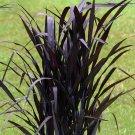 Pennisetum First Knight 38 Napier Grass USA grown zone 7-11 DEEP PURPLE