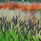 Pennisetum advena Redhead 38 Fountain Grasses USA wholesale Zone 5-9