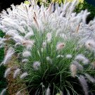 Pennisetum alopecuroides Hameln 72 Dwarf Fountain Grasses plug tray Zone 6-9