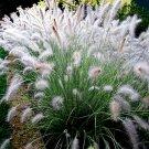 Pennisetum alopecuroides Hameln 38 Dwarf Fountain Grasses plug tray Zone 6-9
