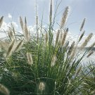 Pennisetum alopecuroides 38 Fountain Grasses USA grown wholesale Zone 6-9