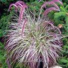 Pennisetum Cherry Sparkler 38 grasses wholesale pink white Zone 9-10