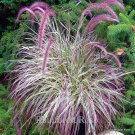 Pennisetum Cherry Sparkler 72 grasses wholesale pink white Zone 9-10