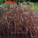 Pennisetum Fireworks 72 ornamental grasses purple fountain Zone 9-10