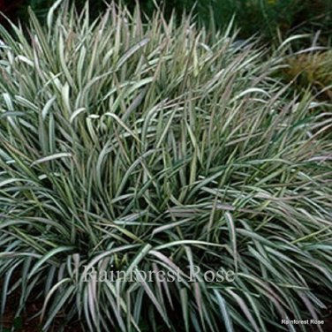 Phalaris Strawberries Cream 38 ornamental grasses Ribbon pink Zone 4-9