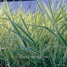 Phalaris arundinacea picta 38 ornamental grasses wholesale Zone 4-9