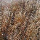 Schizachyrium scoparium 38 NATIVE grasses Little Bluestem Zone 3b-10
