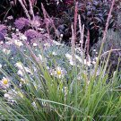Sesleria autumnalis 38 ornamental grasses Autumn Moor Grass Zone 4-9