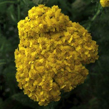 Achillea Desert Eve Yellow 72 perennial  Yarrow USA grown plants Zone 4-9
