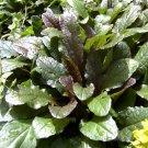 Ajuga reptans Bronze Beauty 72 plants perennial wholesale Bugleweed Zone 3-9