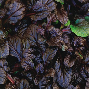 Ajuga reptans Mahogany (72) +tray plants WHOLESALE bugleweed Zone 3-9