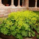 Alchemilla mollis Auslese 72 plants Lady's Mantle WHOLESALE USDA Zone 4-7
