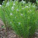 Amsonia hubrichtii 72 perennial plants 2011 WINNER WHOLESALE USDA Zone 4-9
