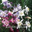 Aquilegia caerulea Songbird Mix (72)  Zone 3-8 plants wholesale Columbine