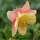 Aquilegia Swan Pink-Yellow 72 plants wholesale Columbine Zone 3-8
