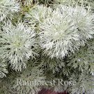 Artemisia schmidtiana Silver Mound 72 plants Product USA Wormwood Zone 3-8