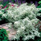 Artemisia stelleriana Silver Brocade 72 plants Product USA Wormwood Zone 3-9
