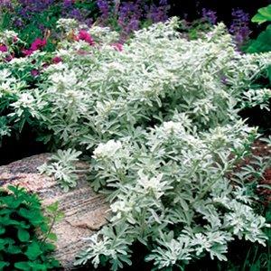 Artemisia stelleriana Silver Brocade 72 plants Product USA Wormwood Zone 3-9