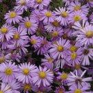 Aster novi-belgii Woods PURPLE 72 plants Product USA New England Zone 4-8