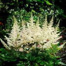 Astilbe chinensis Vision in White 38 False Spirea plants Product USA Zone 3-8